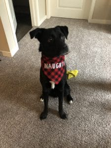 black dog with red naughty bandana