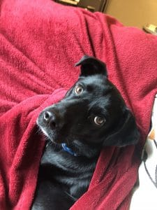 black dog in red blanket