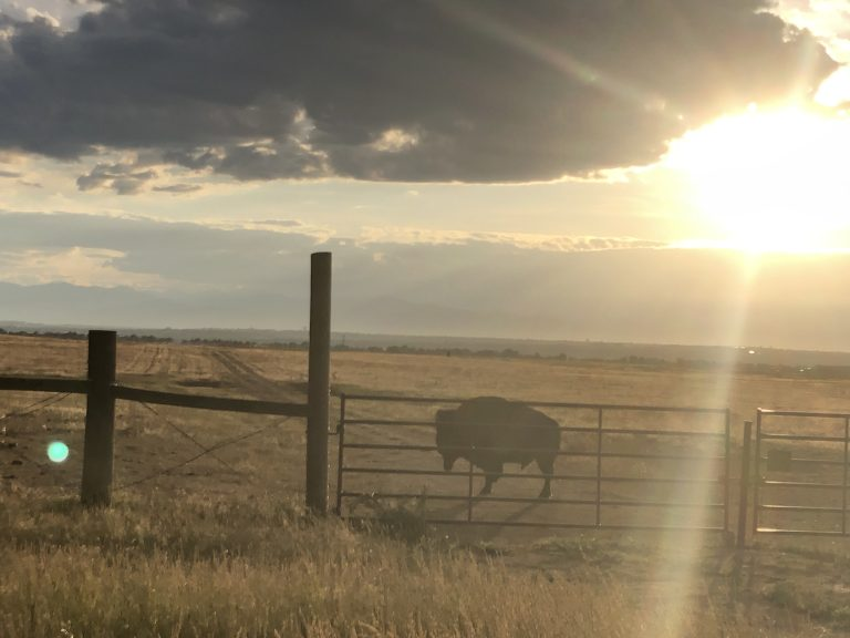 buffalo outside during sunset