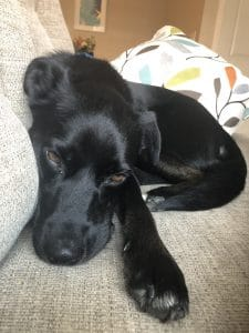 black dog lays on tan couch
