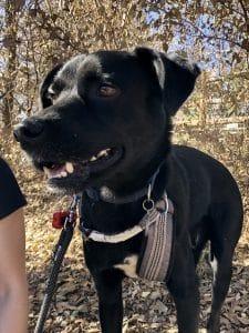 black dog on leash outside