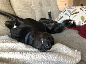sleeping black dog on back