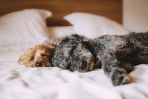 Cute Dogs Lying on Bed